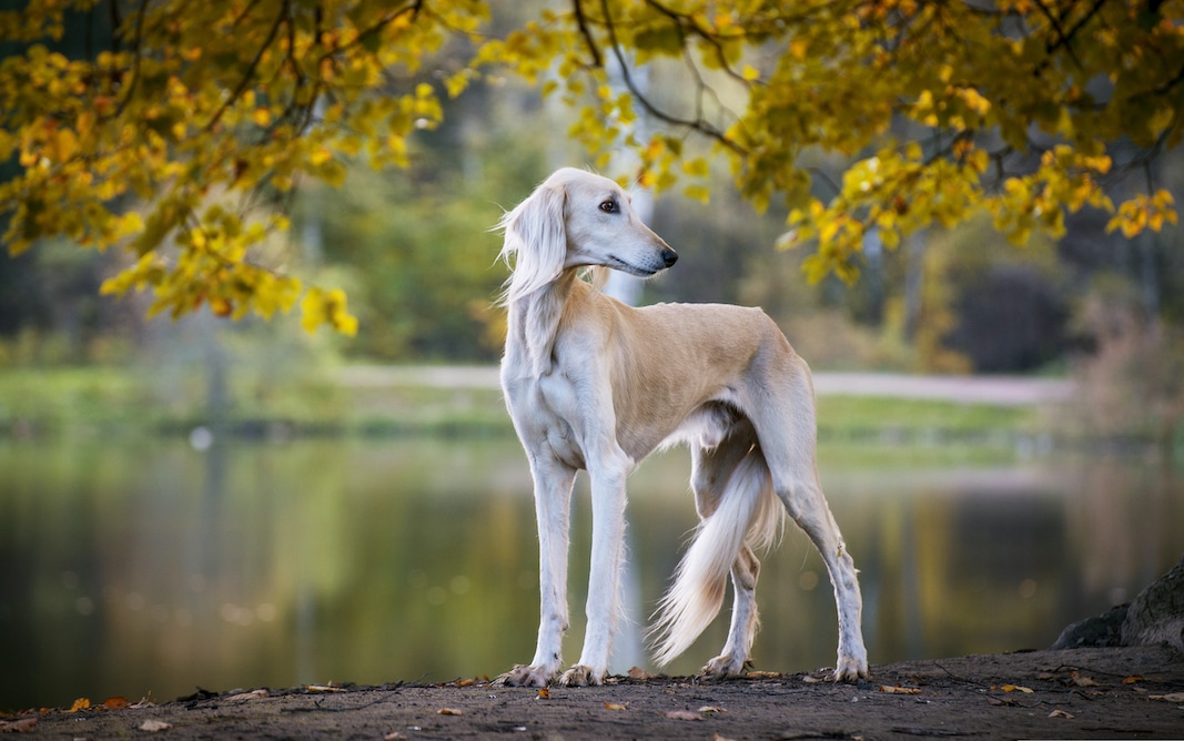 The Saluki is one of the few breeds of large dogs that doesn't shed often.