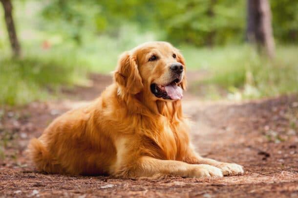 A Golden Retriever outside.