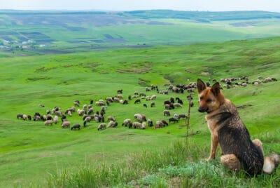 A sheep dog in a field.