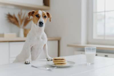 A dog eating pancakes and milk.
