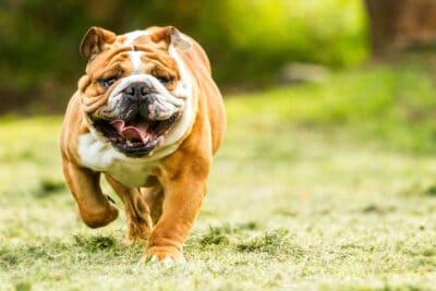 An English Bulldog running outside.