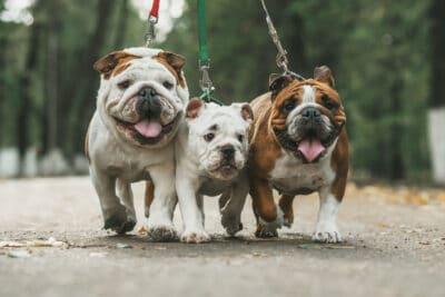 Three English Bulldogs on a leash.