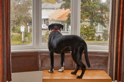 A dog waiting for its owner to get home.