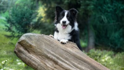 A Border Collie outside.
