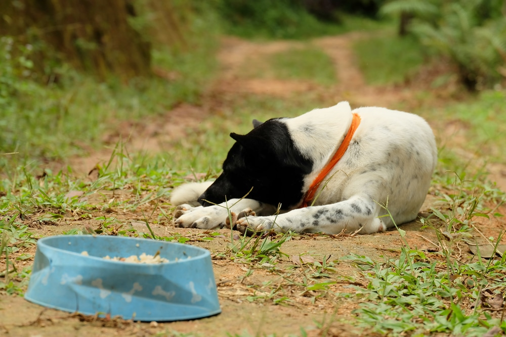 A dog not eating its food and staying away from its bowl.