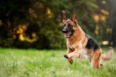 A German Sheperd runnning in a field during the daytime.