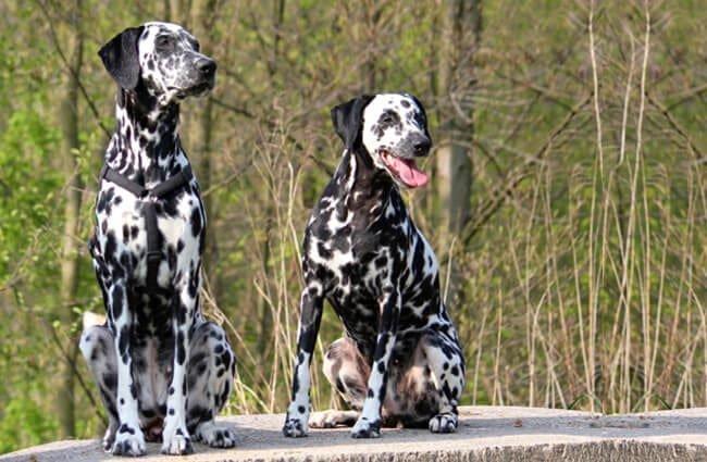Two Dalmatians Outside