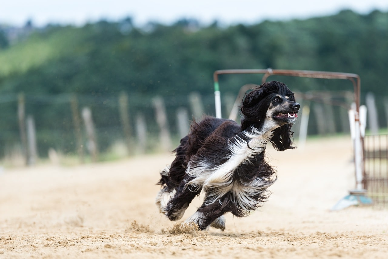 afghan hound running on outdoor track