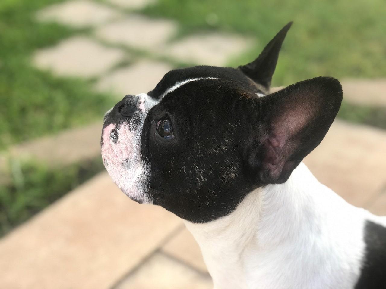 black eyed french bulldog close up