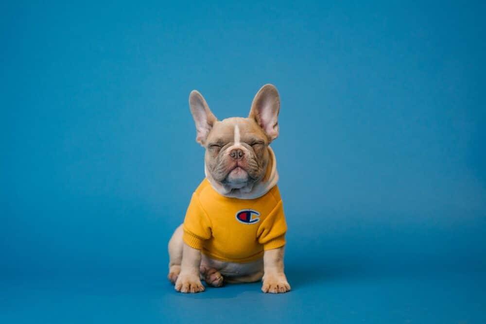blue-eyed french bulldog featured image