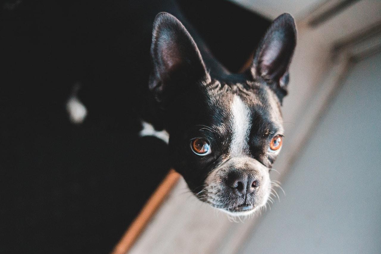 brown eyes french bulldog close up