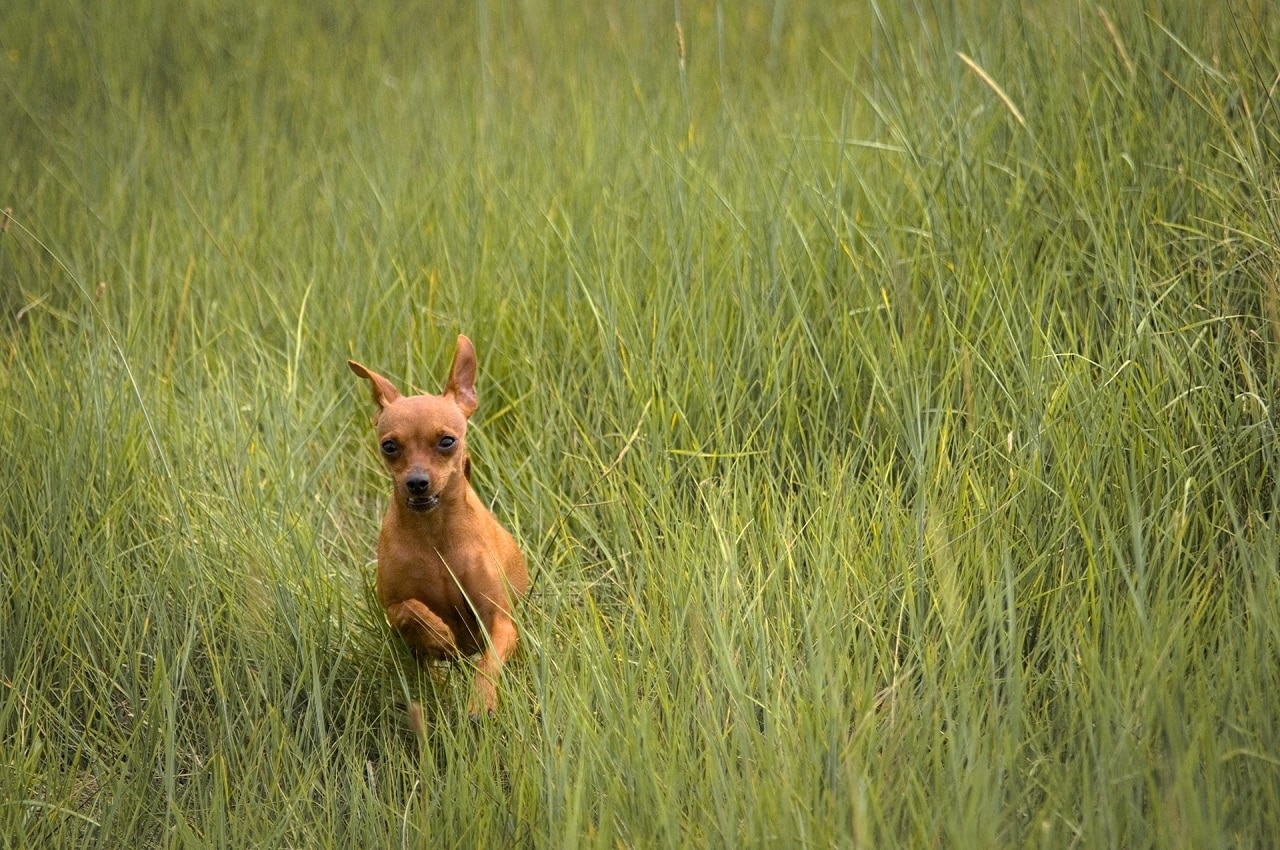 chihuahua running outdoor in grass