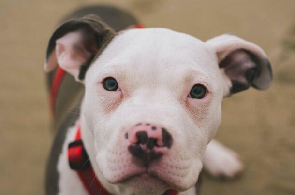 french bulldog pitbull mix featured image