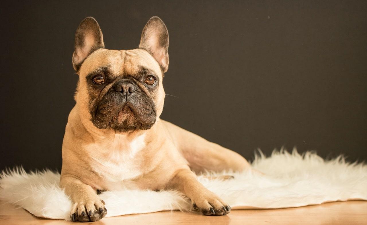 french bulldog posing sitting on rug