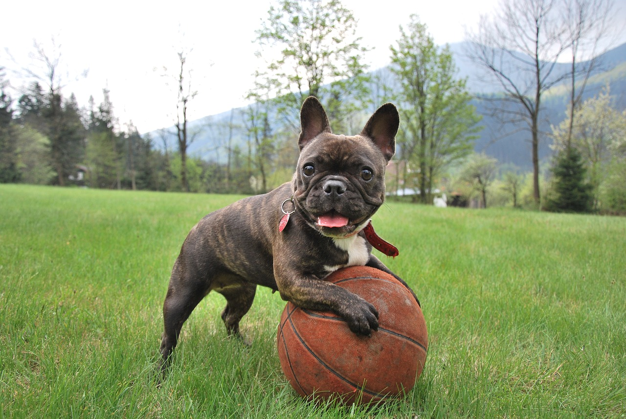 french bulldog puppy playing outdoor