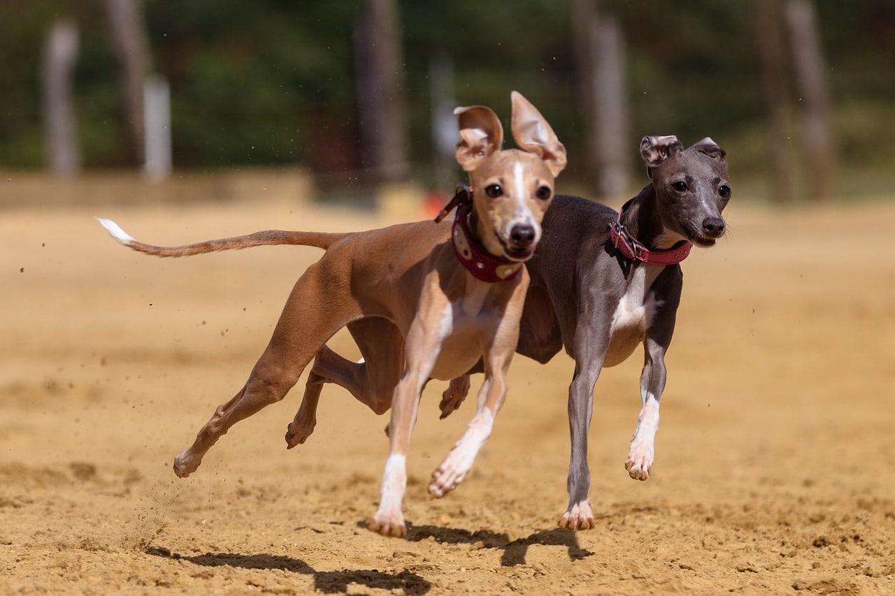 two greyhound dog running on track