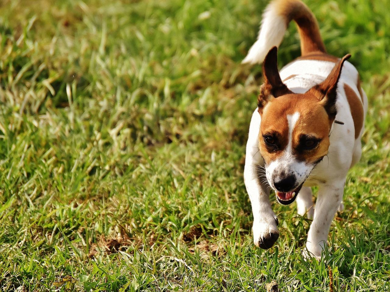 jack russell terrier running outdoor in grass