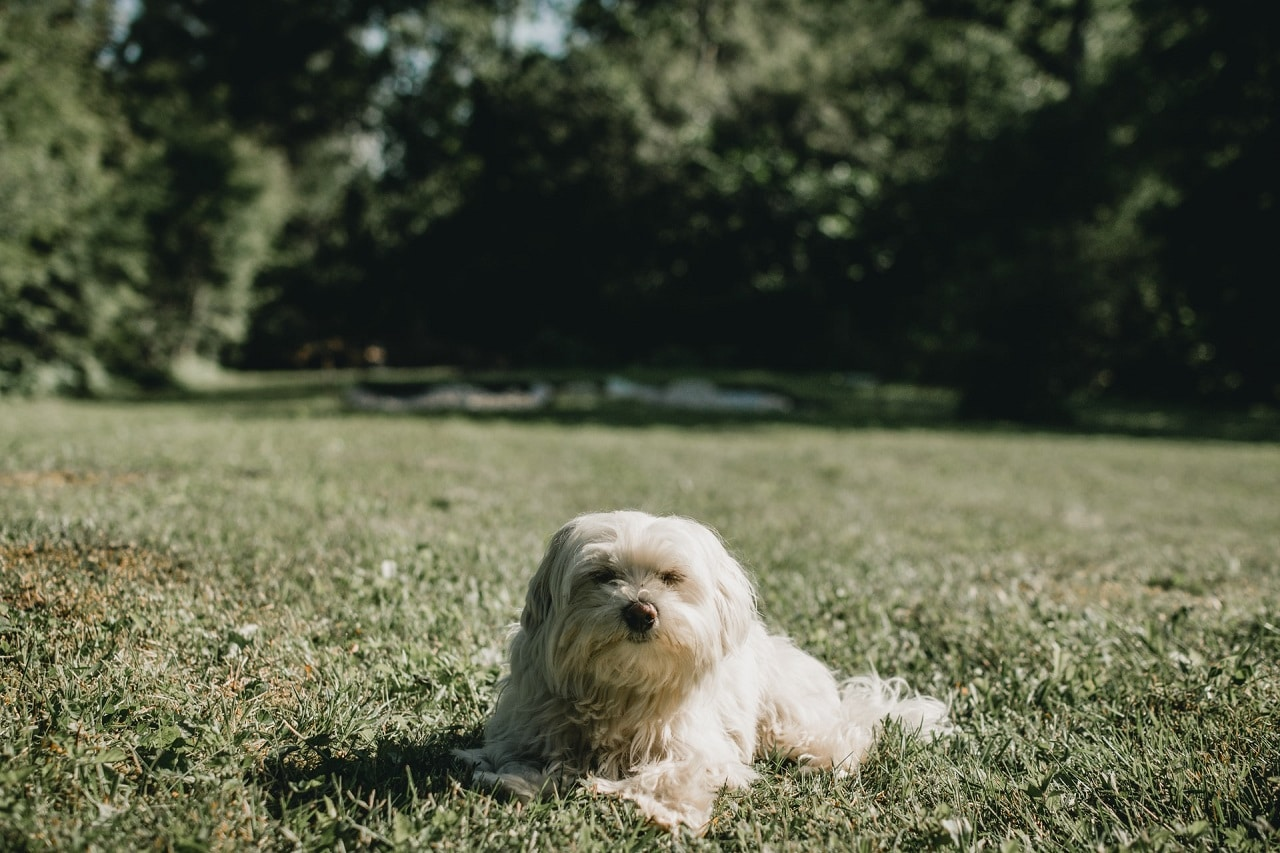 white maltese dog sitting in grass outdoor during day time