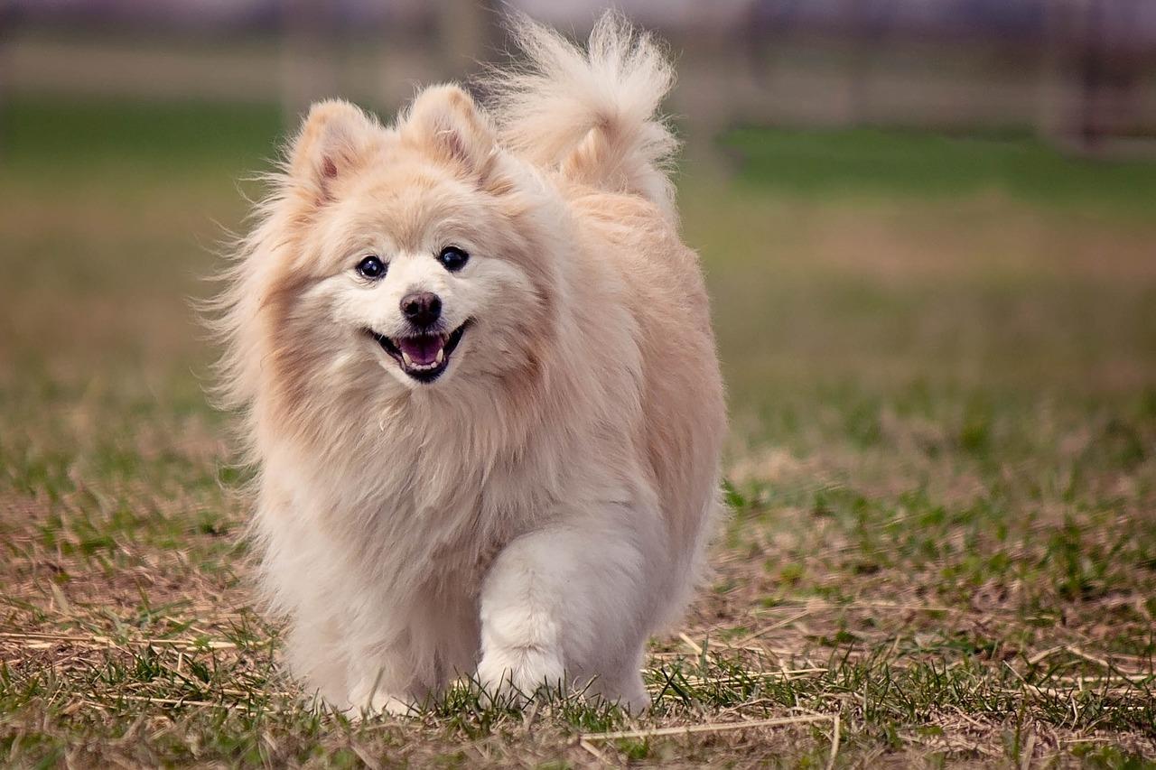 happy pomeranian dog walking in grass outdoor