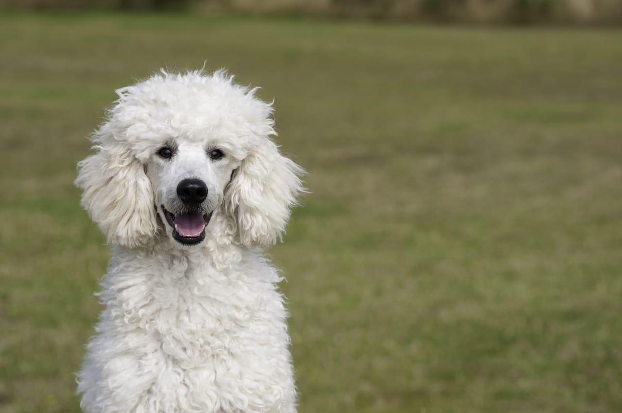 white poodle dog outdoor during day time