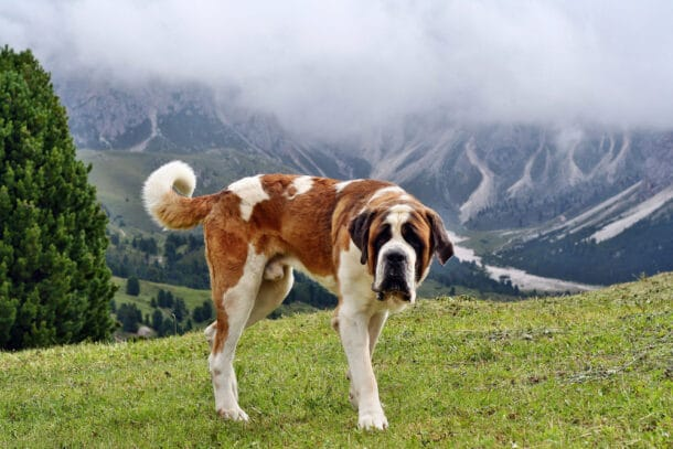 Saint Bernard dog in the Alps