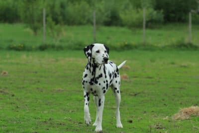 A two year old dalmation walking in a dog park