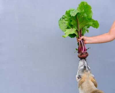 human hand holding unwashed beetroot above a dog.