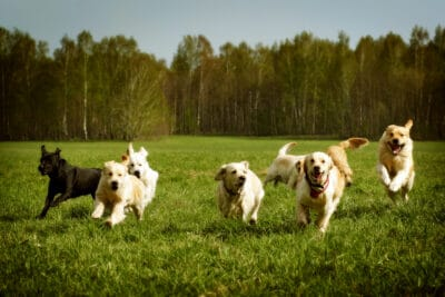 A large group of dogs Golden retrievers running in the grass.
