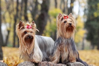 Two yorkshire terriers in a forest.
