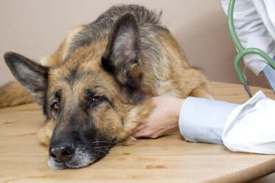 vet examining a sick German Shepherd.