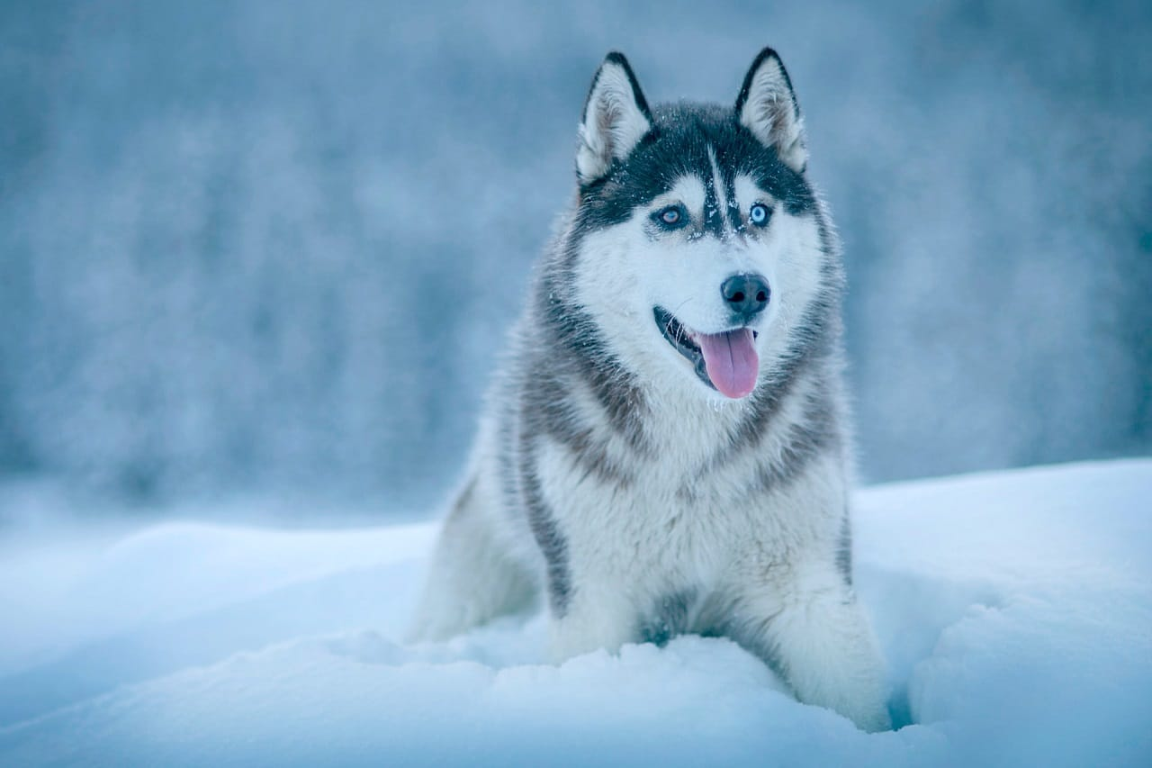 siberian husky sitting in snow outdoor