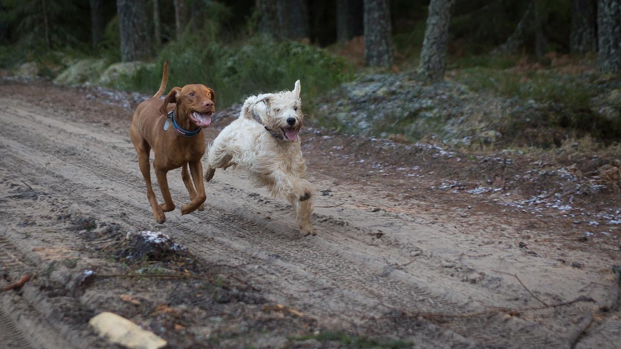 vizsla running outdoor on dirt track