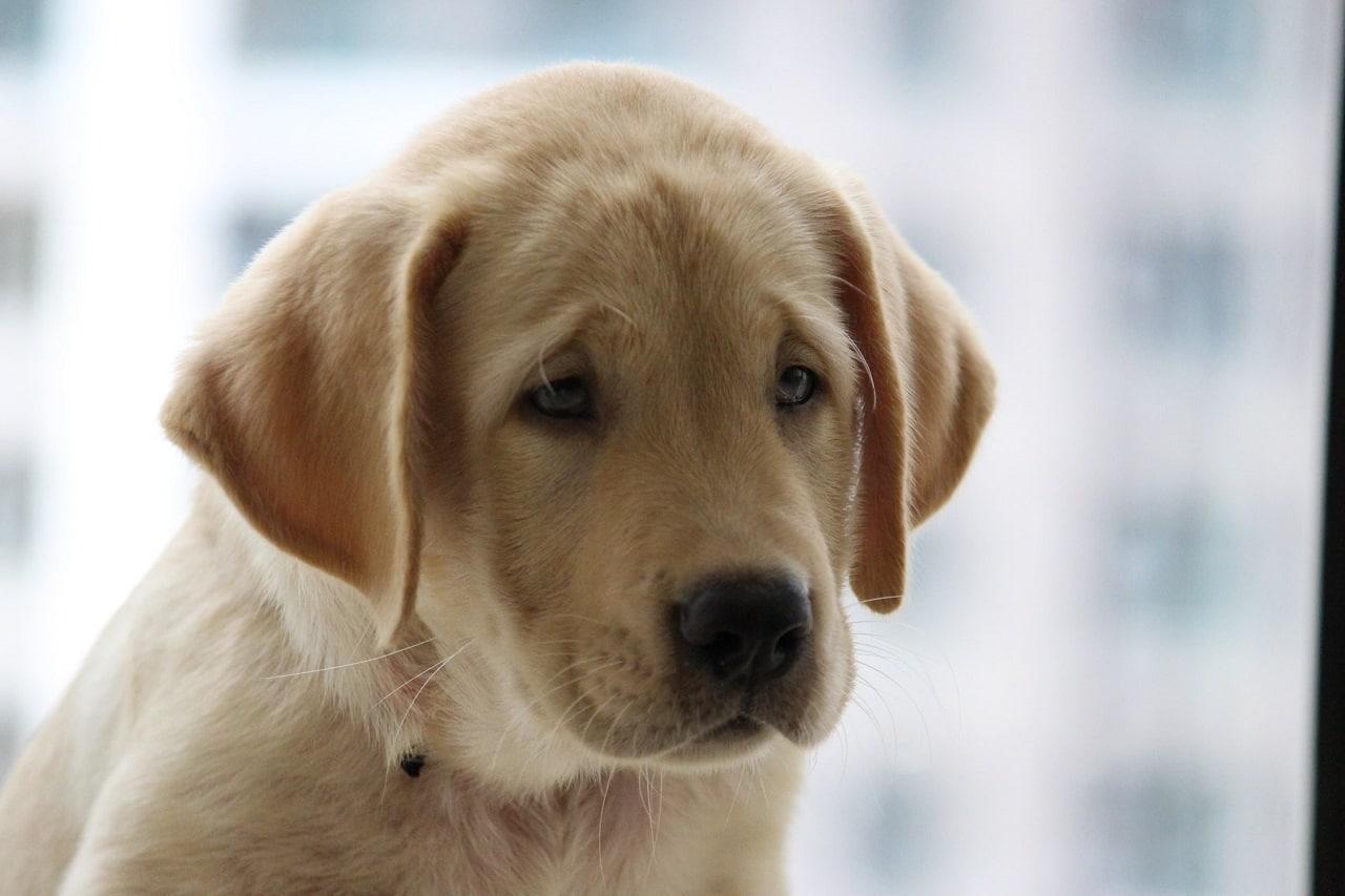 yellow labrador retriever puppy face close up