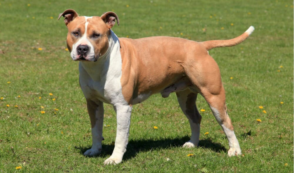 American Staffordshire Terrier in a field