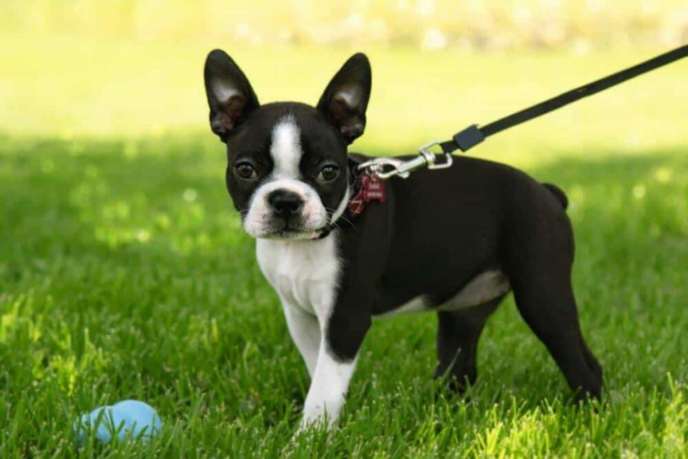 Boston Terrier on a leash