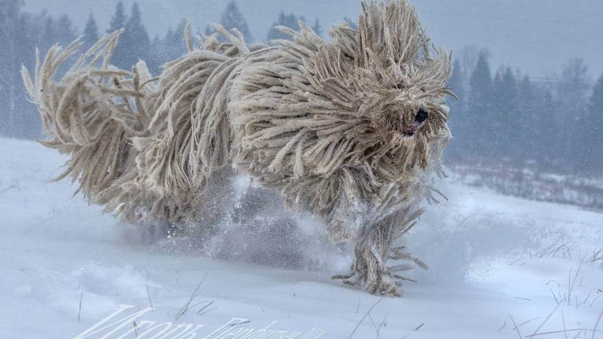 Komondor Dog in snow
