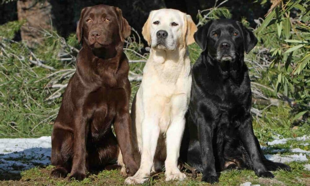 3 different colored labradors