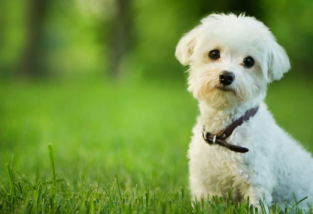 Maltese Terrier in grass