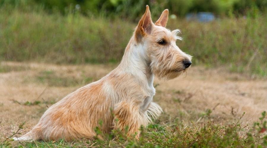 Scottish Terrier in a field