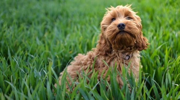 Terrier Spaniel in grass