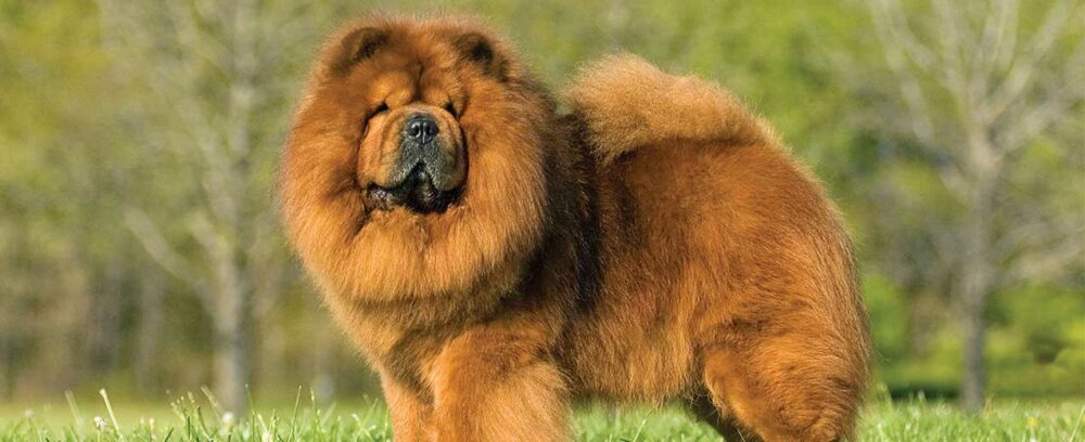 The Chow Chow standing in grass
