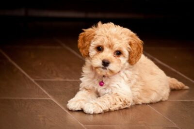 The Maltese Poodle on a floor