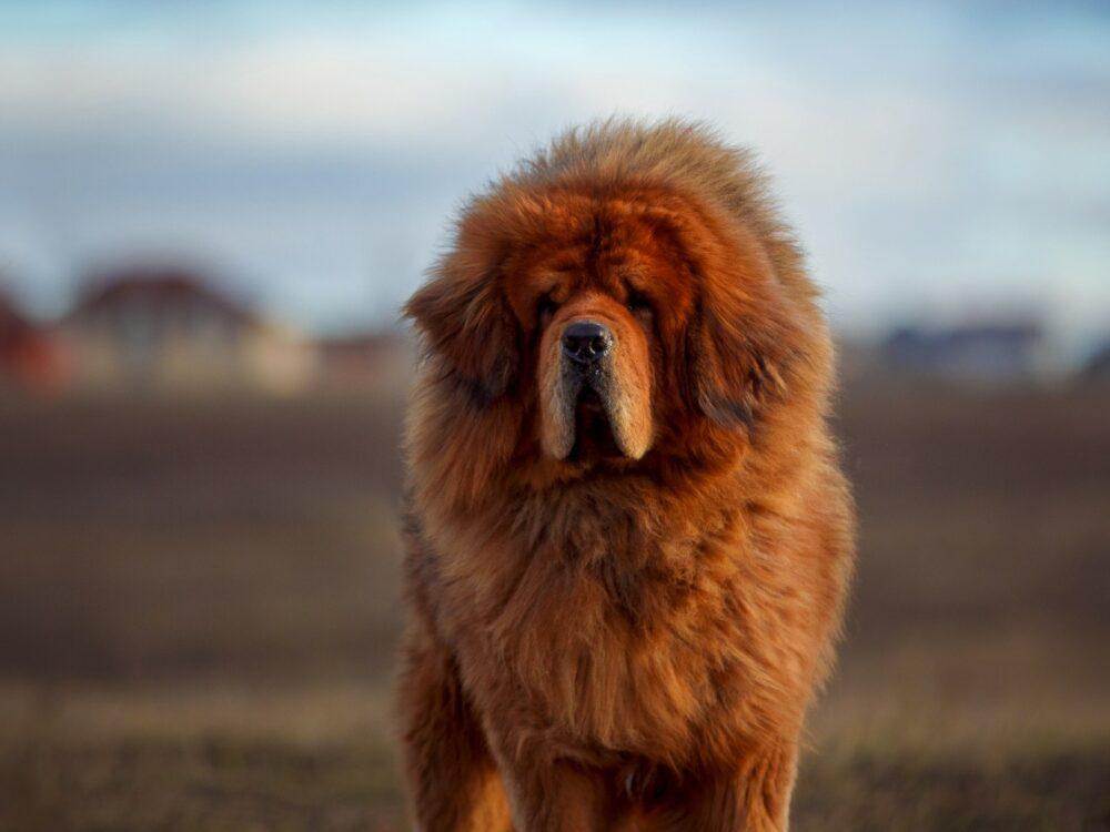 Tibetan Mastiff staring into camera