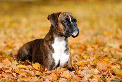 A boxer dog sitting on a pile of leaves.