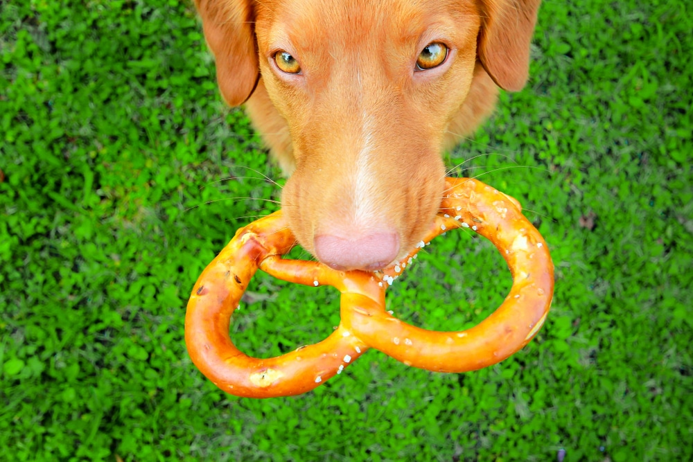 Nova scotia duck tolling retriever dog holding a pretzel in its mouth.