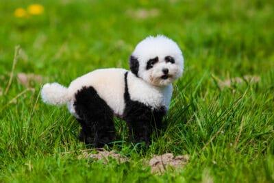 A dog that looks like a panda bear.