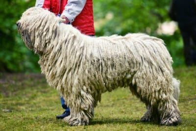 A person with a Komondor in a field.