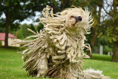 Komondor (Hungarian sheepdog) shaking dreadlocks