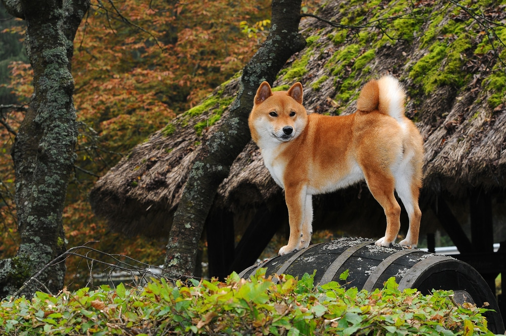 A shiba inu dog in the woods.