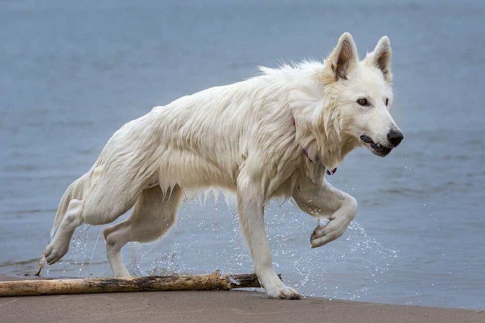 Albino german shepherd on beach